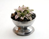 For her: Pink Hypoestes in a vintage dish.