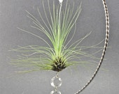 Air Plant & Crystal Christmas Ornament  Holiday Decor  Tree Trimming Gifts under 15 Gifts under 20
