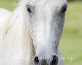 HORSE PHOTO, Arab Horse, FRECKLES, Equine photography, Portrait, Wall Decor