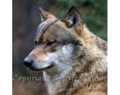 WOLF - ALPHA - Edition Print - European Grey Wolf