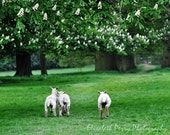 Lambs running in English Field Photograph 8x10