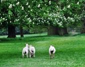 Lambs running in English Field Photograph 8x10