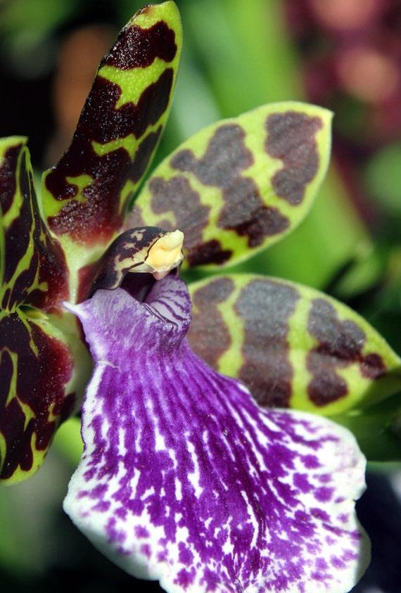 Close-up Photography  of a Zygopetalum (Ladybird) Orchid