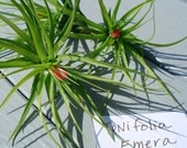 Air Plant Emerald Forest Buy 1 Get 1 iona Free