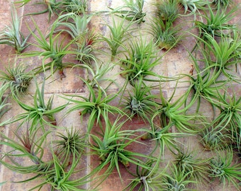 Air Plant WHOLESALE Mix of Ten