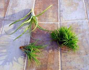 SALE Air Plant Mix of 3