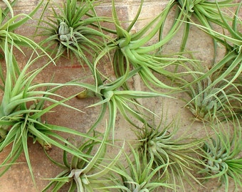 Air plant Mix of Ten 10