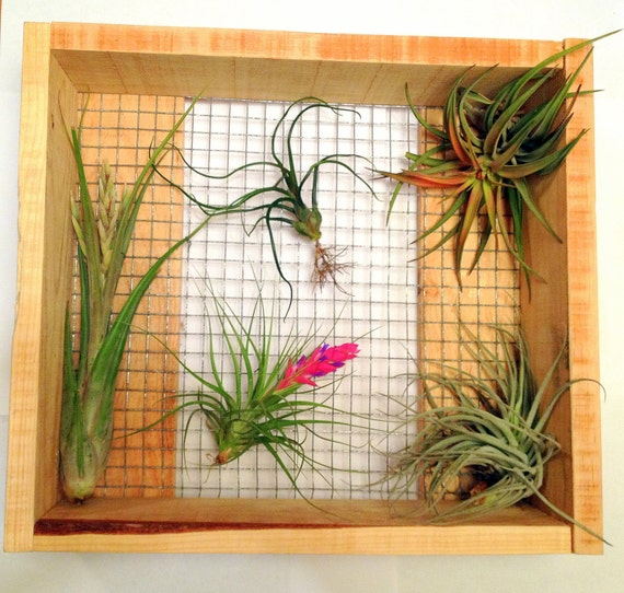 Items similar to air plant wall art hanger on etsy for Air plant art