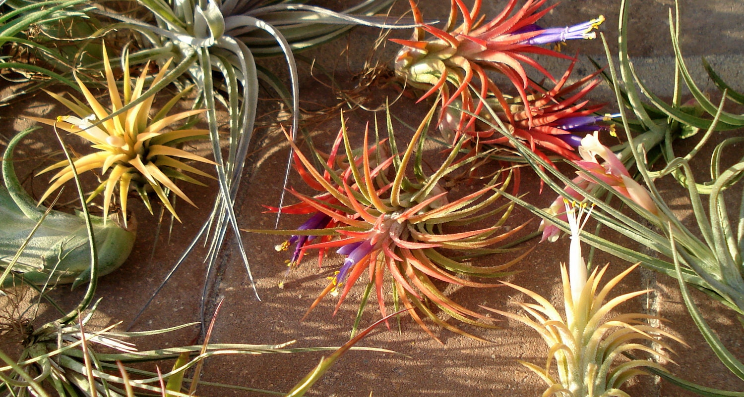 Air plants wholesale mix of five for Cheap air plants