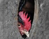 Chicken in Chicken Coop 4 x 6 Print