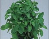 Stevia Herb - Heirloom,Organic,Very Sweet, 25 Seeds