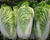 Cabbage - Chinese Heirloom - Organic  STIR-FRY  30 Seeds