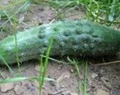 Cucumber - Longfellow - Great Slicer - Heirloom -20 Seeds
