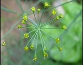 Dill - Bouquet Herb - Heirloom - Organic - 100 Seeds - Wonderful Aroma