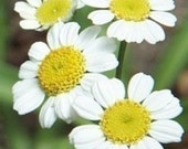 Feverfew - Herb - Heirloom   100 Seeds Used as a preventive for Migraines - Perennial