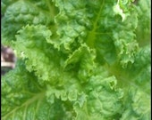 Lettuce - Black Seeded - Heirloom - 100 Seeds - Great for Wilted Lettuce.  YUM