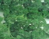 Parsley - Triple Curled Herb - Heirloom - 30 Seeds