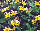 Viola - Johnny Jump--Up - Heirloom - 25 Seeds
