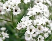 Baby's Breath Flower - Heirloom - 50 Seeds