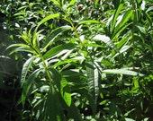 Fenugreek Herb - Heirloom - Annual - 20 Seeds