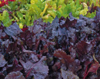 Beet - Bull's Blood - Heirloom - Organic - 30 Seeds