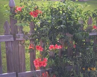 Trumpet Vine - Orange - Heirloom - Organic - 50 Seeds