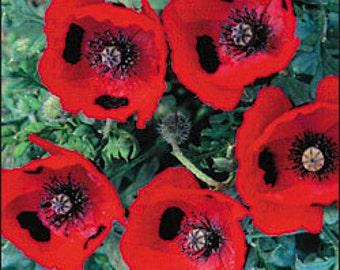 Poppy - Ladybird - Heirloom - Beautiful - 50 Seeds