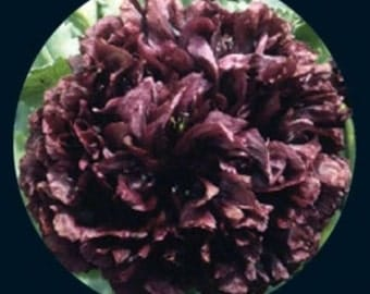 Poppy - Black Peony - Heirloom - Beautiful - 25 Seeds