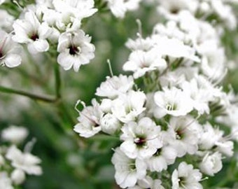 Baby's Breath Flower - Heirloom - 50 Seeds