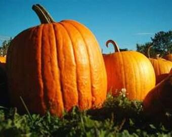 Pumpkin - Big Max - Heirloom - 10  Seeds