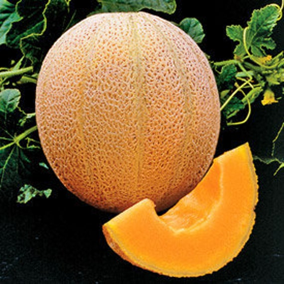 Cantaloupe - Hales Best - Heirloom - 20 Seeds