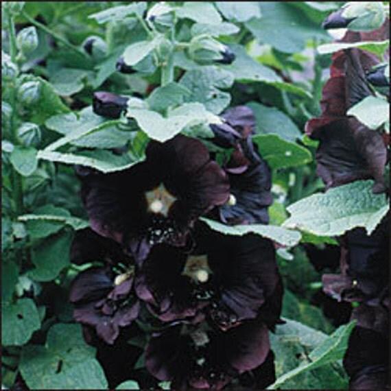Tall Hollyhock Black Flower Alcea Rosea Nigra: Hollyhock Nigra Heirloom Perennial 25 Seeds