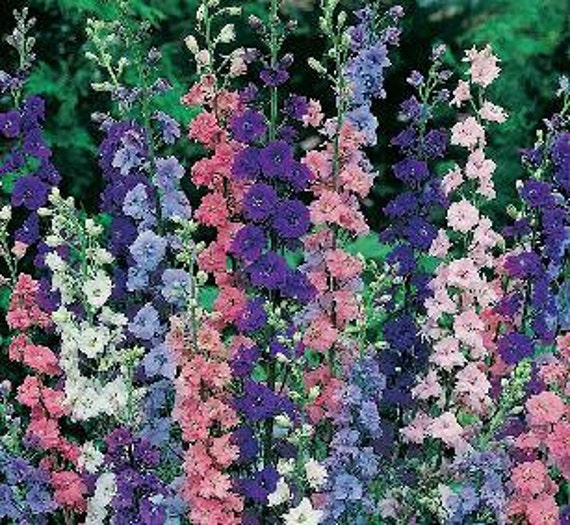Larkspur - Assorted Colors  - Heirloom - 30 Seeds -  Bunny face flowers