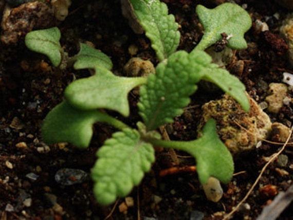 Sage - White -Heirloom - NO GMO - 20 Seeds