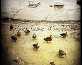 Ducks on Beach in Sepia Tint 10x10 Fine Art Photograph