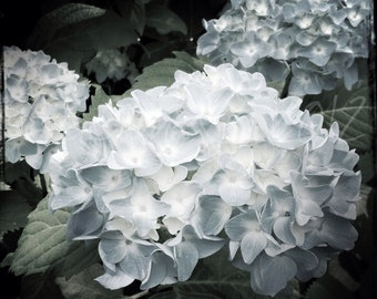 Light Blue Hydrangeas 10x10 inch Photograph