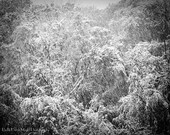 Photo black and white winter snowfall snow in trees winter wonderland scene, 8x10 fine art