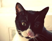 Photo black white and pink cat close up pet print moment of concentration, 8x10 fine art animal photograph