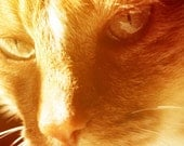 Orange photo cat lover kitty in gold sunlight pet feline, 8x10 fine art pet photograph