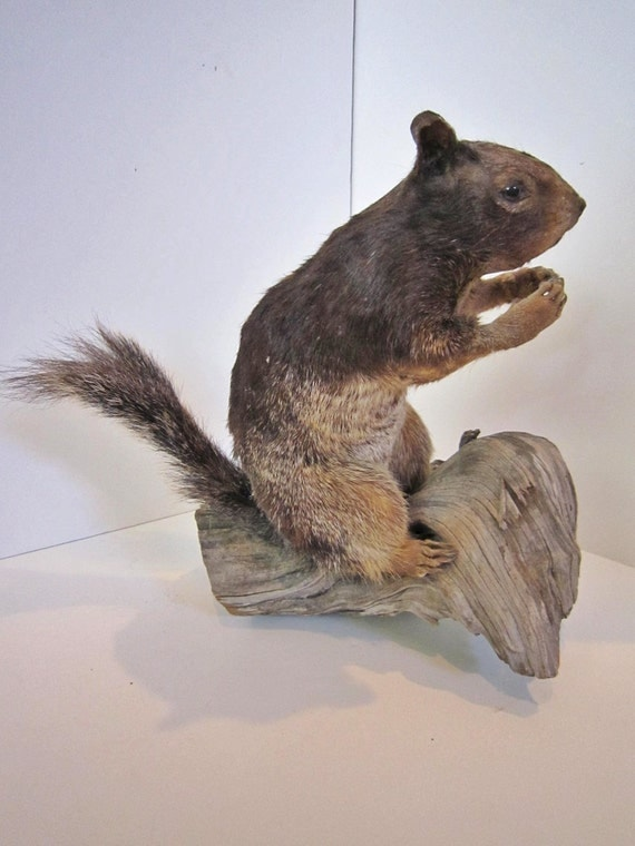 Taxidermy Squirrel African