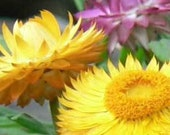 100 HEIRLOOM  STRAWFLOWER  mix  helichrysum monstrosum seeds