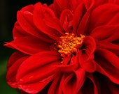 Close Up Red Flower Nature Photography Print 8x10 - Free U.S Shipping
