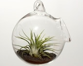 Ionantha Rubra Air Plant Glass Globe Garden - Hanging & Desktop