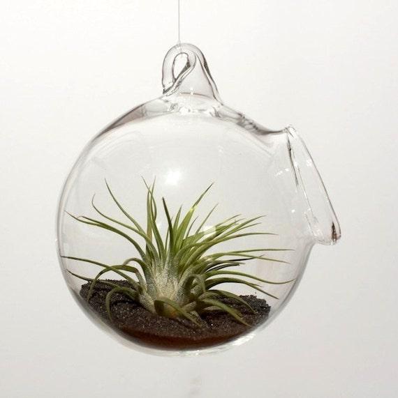 Ionantha Rubra Air Plant Glass Globe Garden - Hanging & Desktop