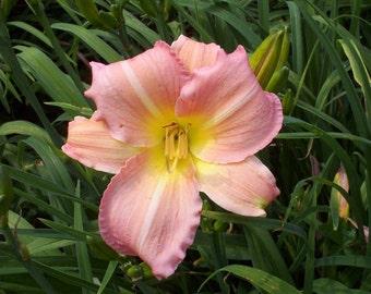 Daylily Patchwork, live plant