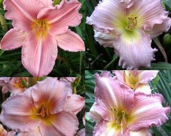 Pink Daylilies Grab Bag, 10 Plants
