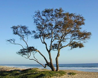 Coastal Tree, Landscape Photography, Décor, Travel, Coastline, California, Ocean, Fathers Day Gift, Nature, artBJC
