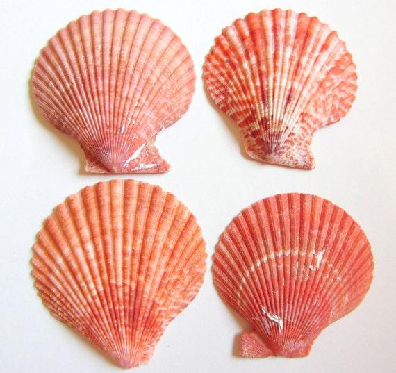 Beach Decor - Scallop Shells for Beach Decor, Beach Weddings or Crafts - 4 Lions Paw