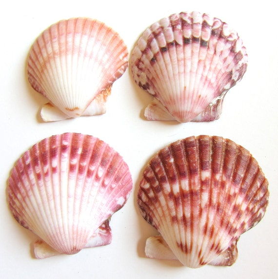 Beach Decor - Seashells - Rose Lions Paw Shells for Beach Decor, Beach Weddings or Crafts - 4 pc.