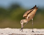 Godwit probing the beach - 8x10 singed and matted print